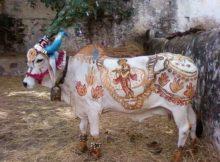 vaca sacra